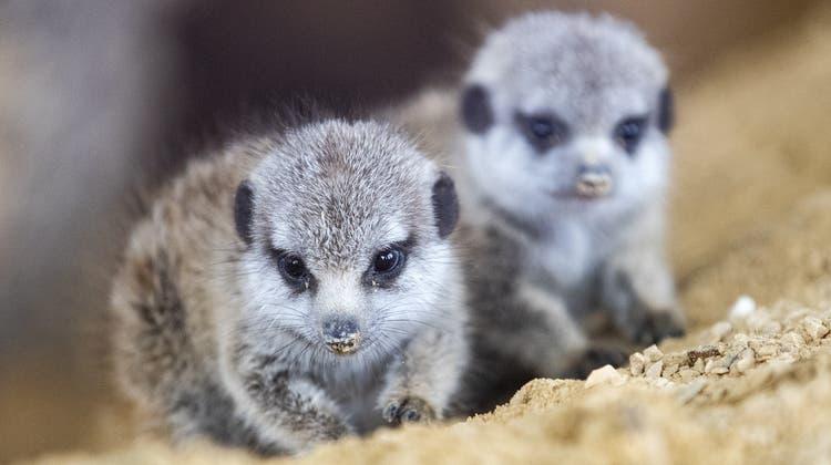 Zwei Jungtiere im Zoo Zürich. (Keystone)