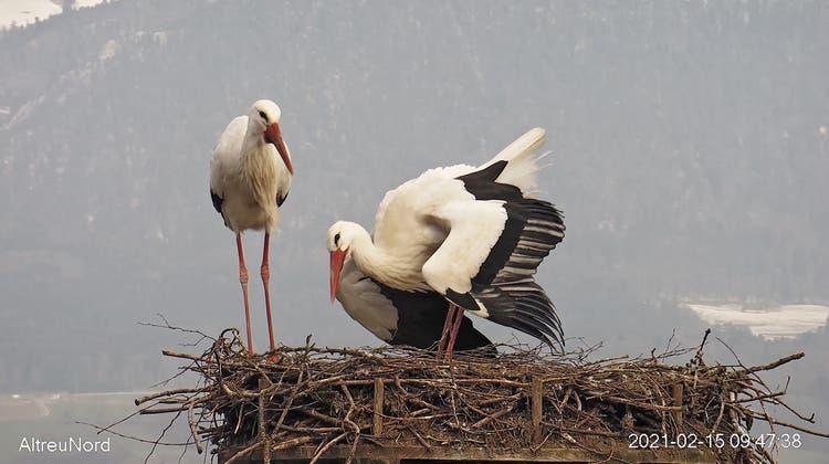 Die beiden neuen Nestkameras beim Infozentrum Witi erlauben das Geschehen live mitzuerleben. (Lorenz Heer)