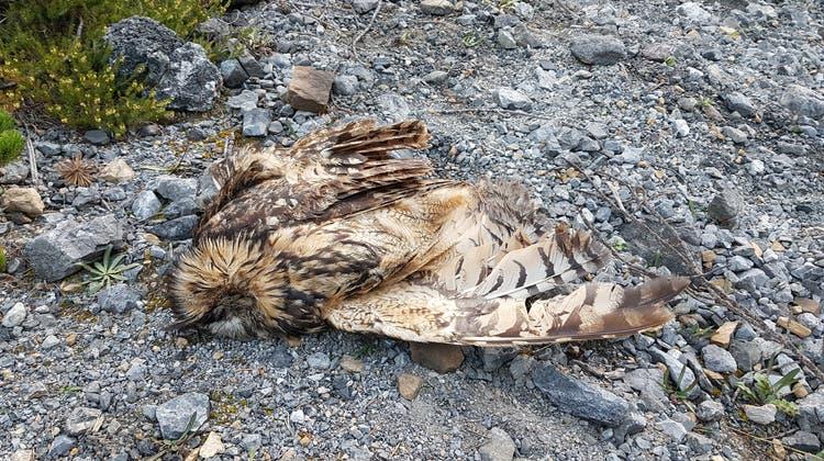 Grenzwerte um das Tausendfache überschritten: Totes Uhu-Weibchen im Spöltal. (zvg)
