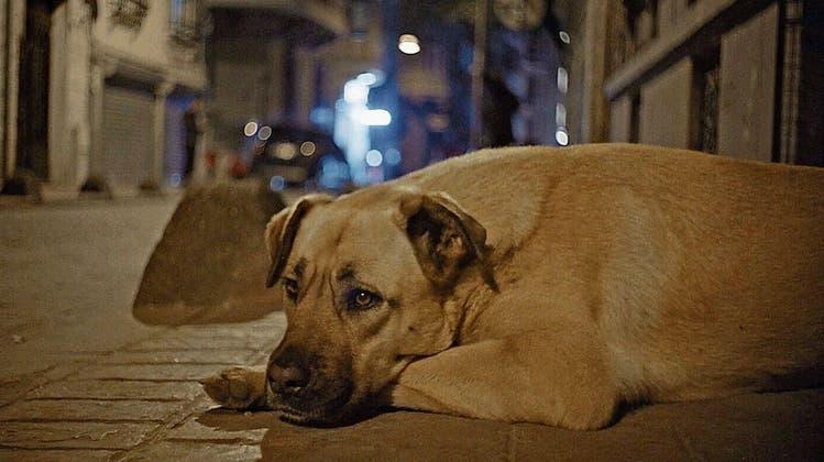 Zeytin, ein herrenloser Mischling in Istanbul. Wie frei ist er wirklich, und wie heroisch ist sein ungebundenes Leben? Solche Fragen beantwortet in der Reportage der hündische Protagonist auf seine Weise. (Bild: Ascot)