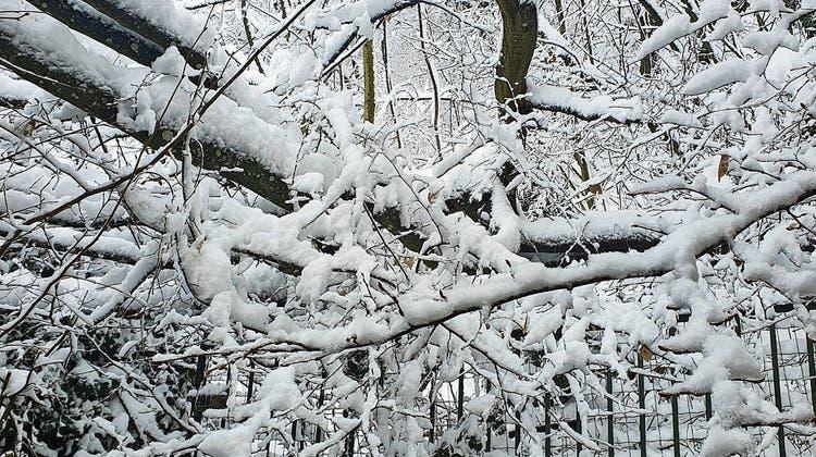 So wie auf diesem Bild aus Olten sah es Mitte Januar auch im Niederamt aus: Bäume barsten unter der schweren Schneelast (Symbolbild). (zvg)