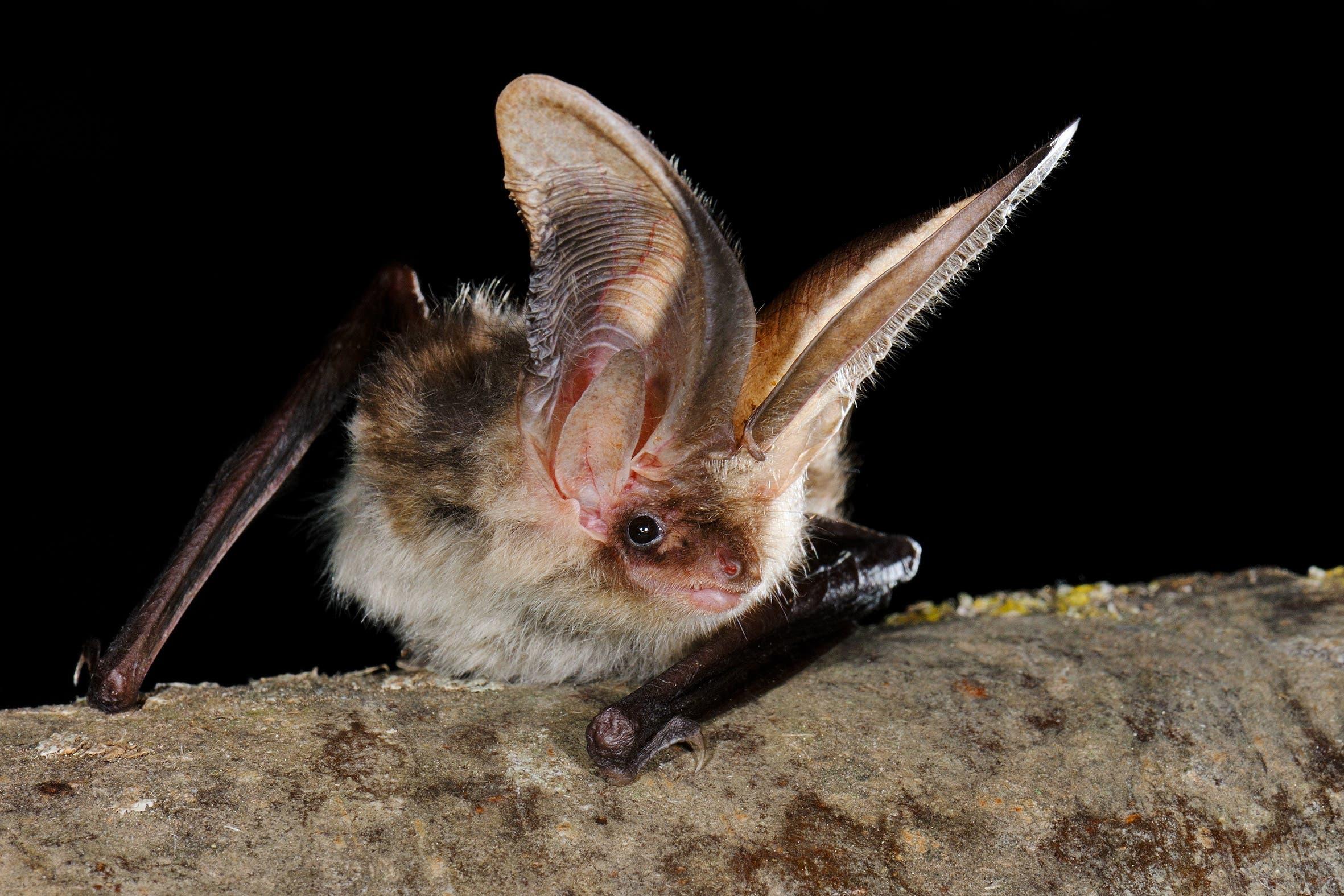 Weniger gut steht es viele der dreissig Fledermausarten in der Schweiz, wie das Braune Langohr.