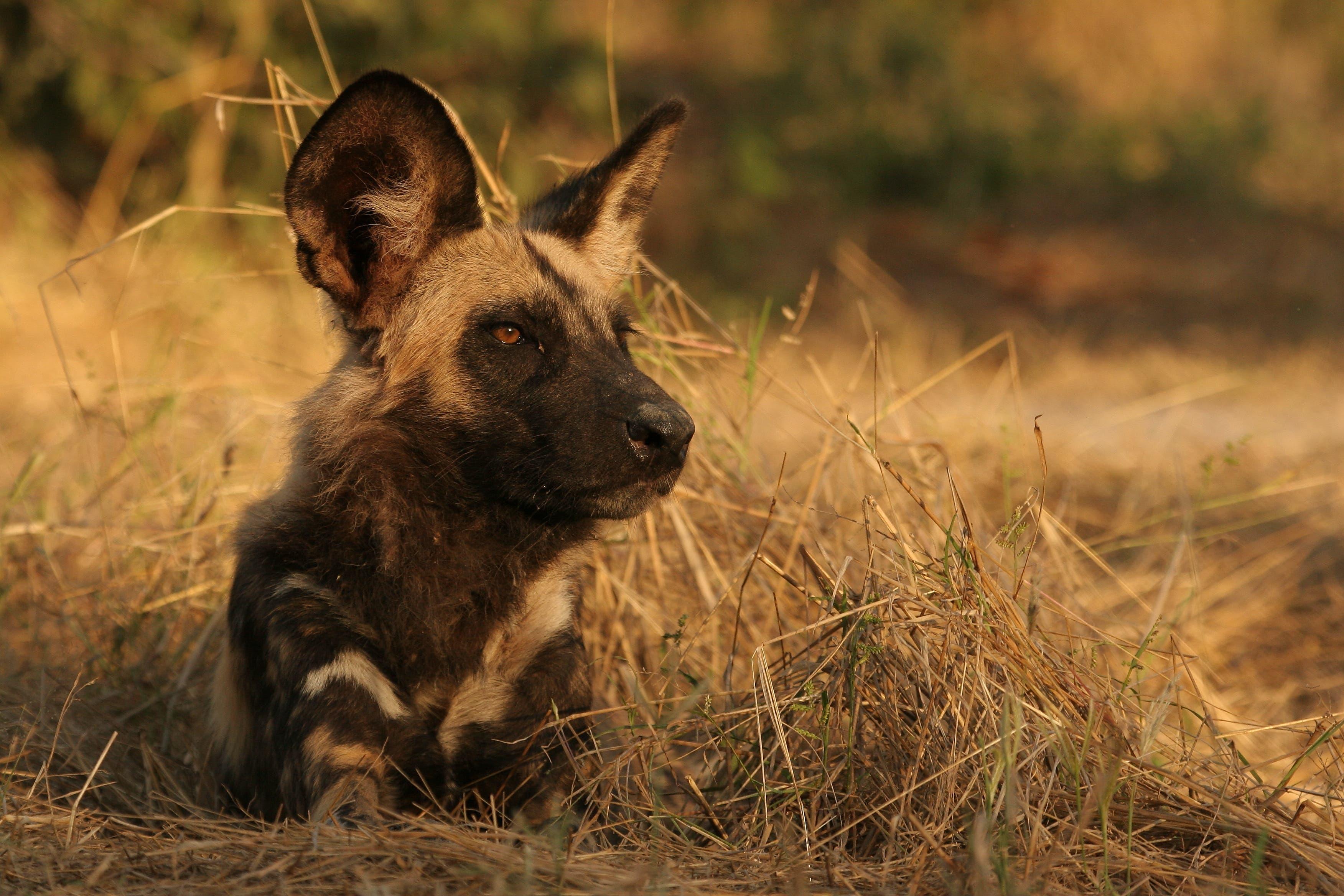 Taktisch geschickt unterwegs: die afrikanischen Wildhunde.