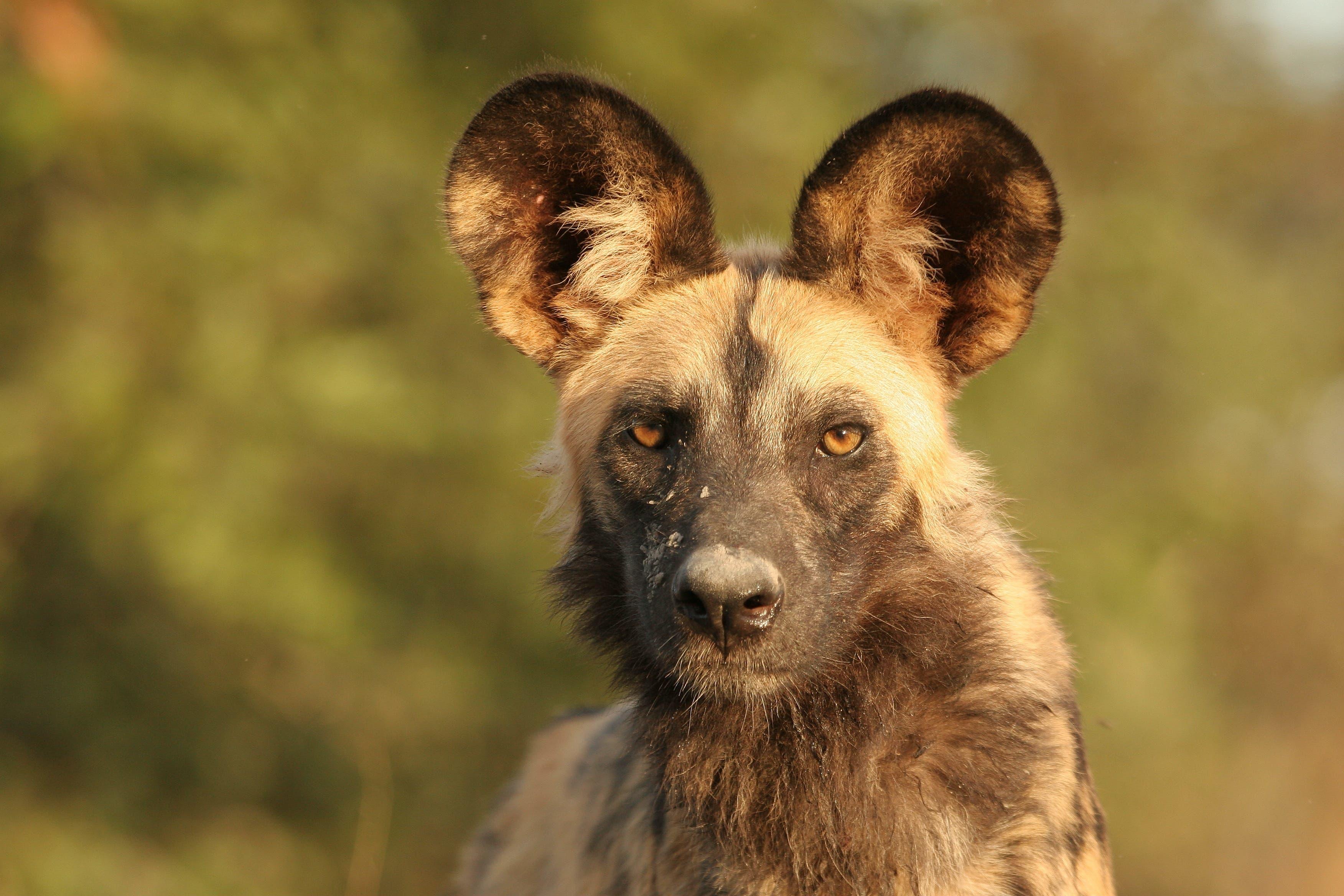 Afrikanische Wildhunde sind im Rudel unterwegs.