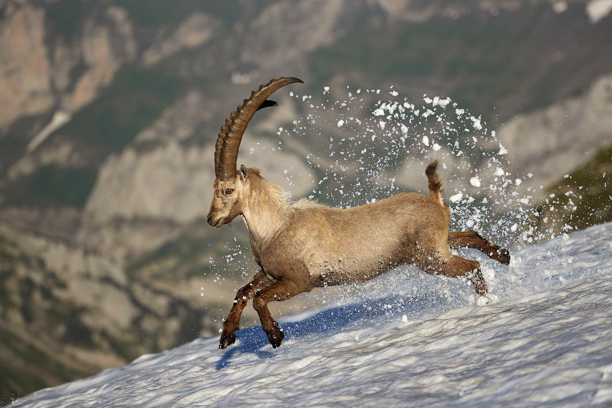 Der Steinbock war eines der ersten Tiere, die vom Menschen ausgerottet und wiederangesiedelt wurden.