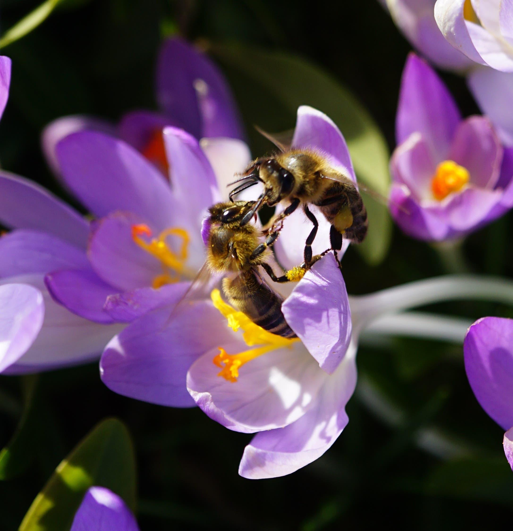 Zwei Bienen streiten sich um eine Blüte in Zeglingen.