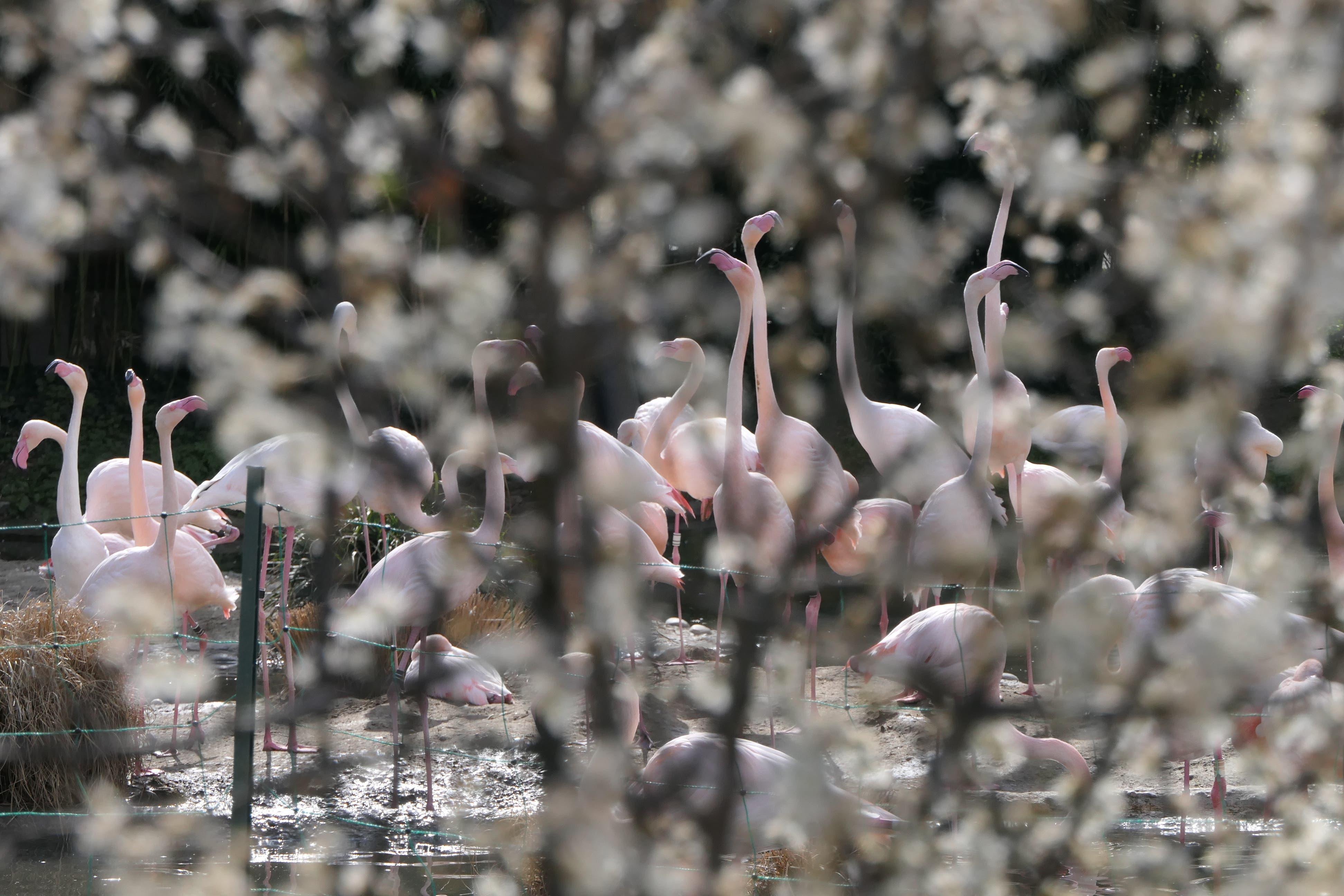 Die Flamingos im Zoo Basel bei frühlingshaftem Wetter.