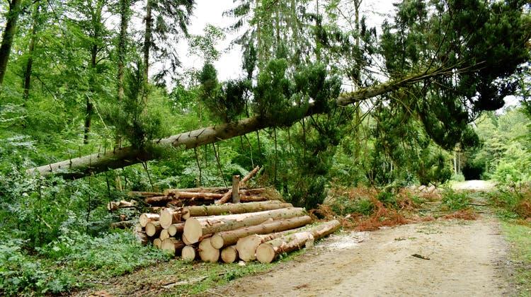 Aufgrund von Hitzeschäden und Borkenkäfern mussten in den Fricktaler Wäldern – hier in Möhlin – diverse Bäume gefällt werden. (Bild: Nadine Böni (21. Juni2019))