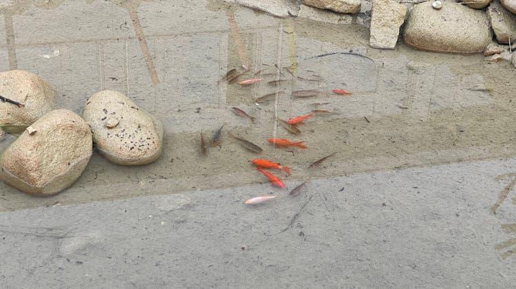 Die Goldfische gefährden die laichenden Amphibien. (Bild: zvg)