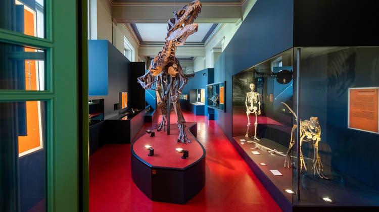 Das Allosaurus-Skelett ist eine Rekonstruktion. Ein Originalskelett eines Dinosauriers fehlt (noch) im Naturhistorischen Museum. (Keystone)