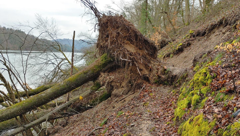 Umgestürzte Bäume haben die Wanderwege im Aargau in Mitleidenschaft gezogen. So wie hier am Rheinuferweg in Rümikon. (ZVG)
