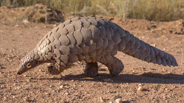 Das Schuppentier wird aus offensichtlichem Grund auch Tannenzapfentier genannt. (Getty Images)