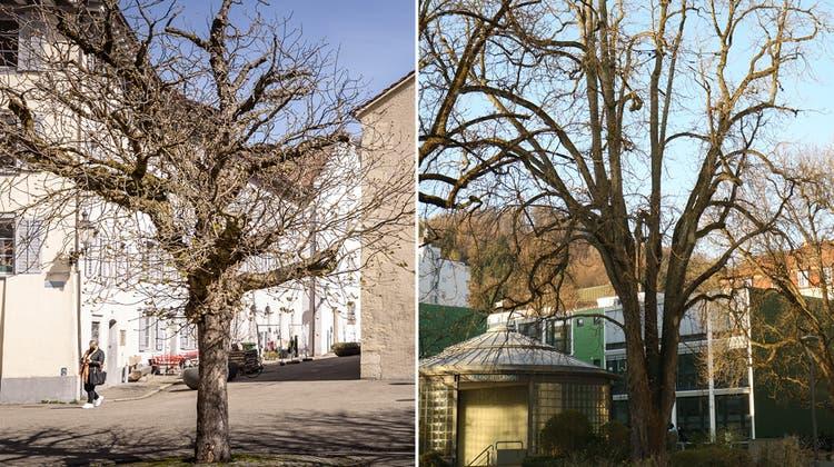 Die über hundert Jahre alte Rosskastanie (links) muss wegen Krankheit gefällt werden. (Bild: Chris Iseli)