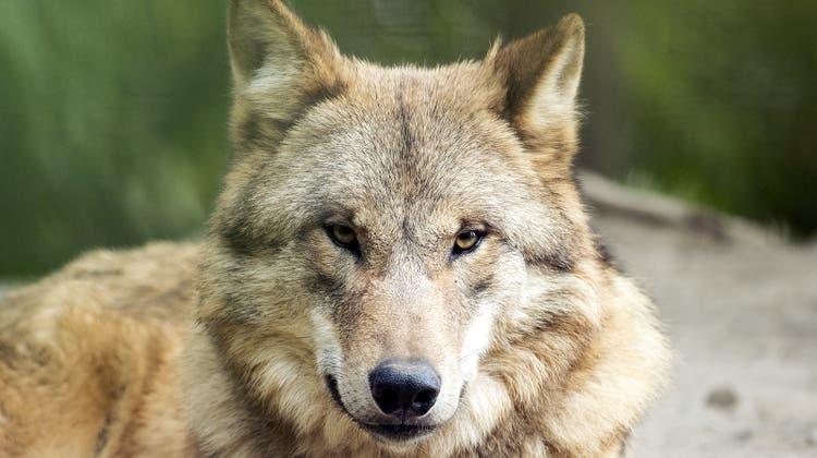 «Wenig Scheu vor dem Menschen»: Im Bündner Rheinwald ist die Wolfpsräsenzgross. (Symbolbild) (Keystone)