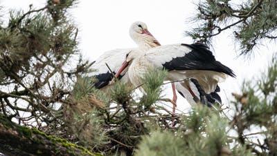 Yumna und Lennys Ex-Partnerin sitzen seit mehreren Wochen zusammen in einem Nest. (Zoo Basel)