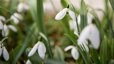 Tagblatt-Quiz – Runde 35: Welche Blumenkünden den Frühling an? Was waren die Höchst- und Tiefsttemperaturen im März? Testen Sie Ihr Frühlingswissen