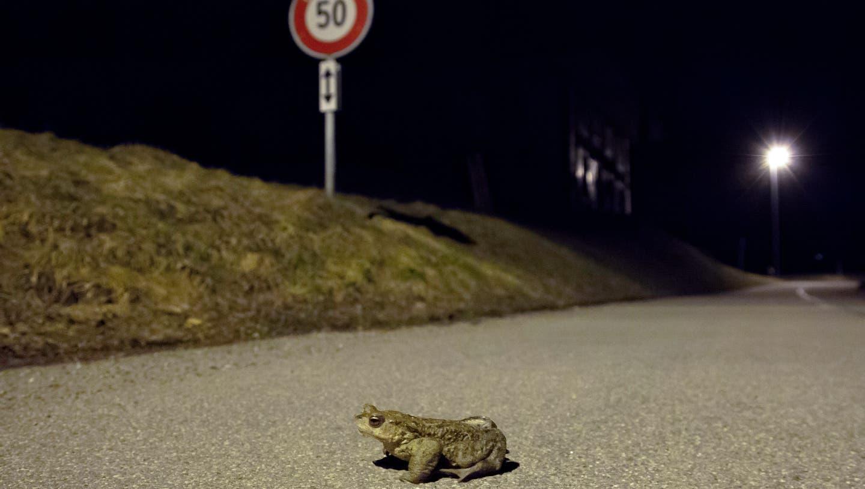 Eine Erdkröte überquert eine Strasse auf dem Weg zum Laichgewässer. (Matthias Sorg / Pro Natura)