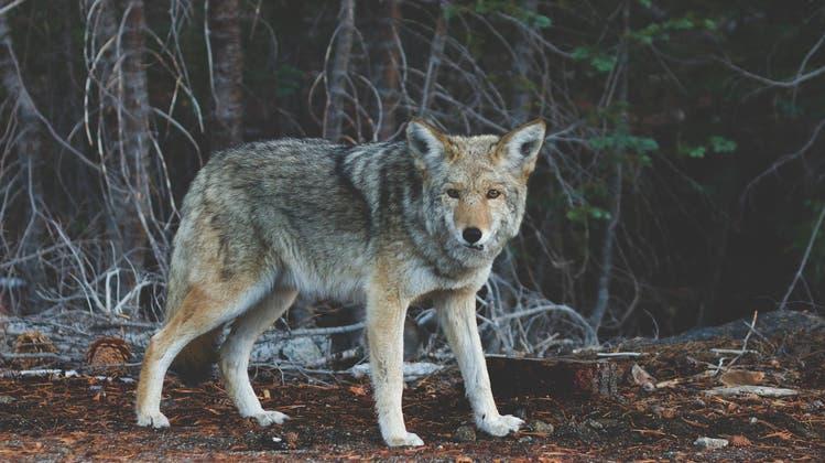 Plötzlich aggressiv: Die Kojoten in Stadtpark von Vancouver haben in den verganenen drei Monaten 15 Menschen attackiert. (Pixabay)