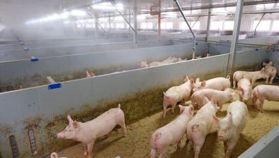 17 Schweine leben in einer Bucht. In jeder der drei Hallen gibt es etwas mehr als 40 Buchten. 100 Tage nach ihrer Ankunft sind die Tiere reif für den Schlachthof. (Kenneth Nars)