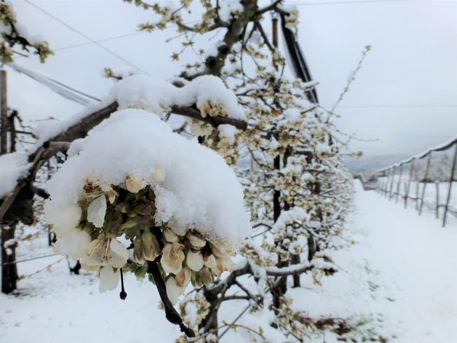 Frostschäden - «Ernte kann in einer Nacht ruiniert sein»: Solothurner  Obstbauern fürchten wegen Frost um ihre Kirschen | Solothurner Zeitung