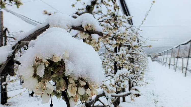 So sah die Kirschenplantage von Benjamin Meier aus Metzerlen am Montagmorgen aus. (12.04.2021) (zvg/Benjamin Meier)