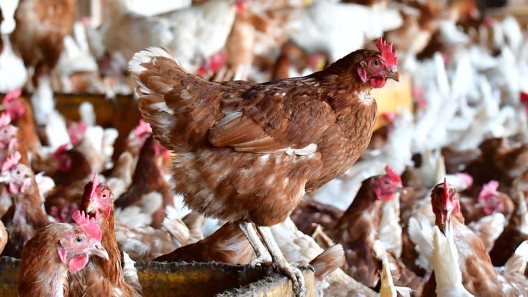 Die Hühner stehen in jenen Baselbieter Gemeinden, die nicht mehr als zehn Kilometer von einem deutschen Seuchenherd entfernt sind, unter erhöhter Beobachtung. (Bruno Kissling)