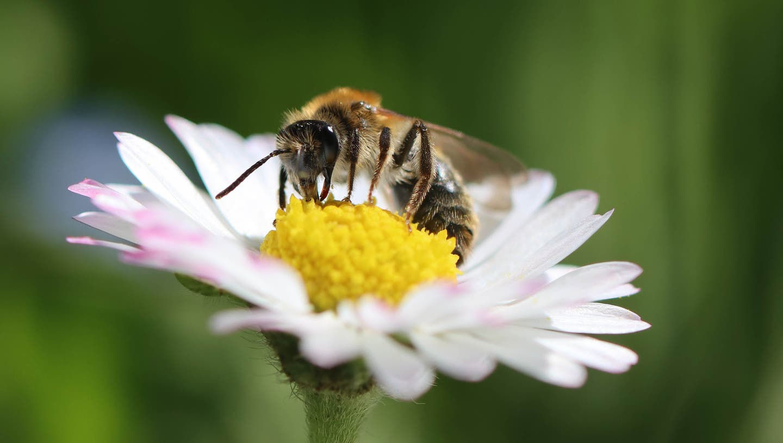 Biene bei der Arbeit. (Bild: Petra Jung (Hämikon 11. April 2021))