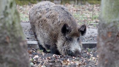Sie wurden weniger abgeschossen, haben aber auch weniger Schäden verursacht: Wildschweine im Aargau. (Symbolbild) (Keystone)