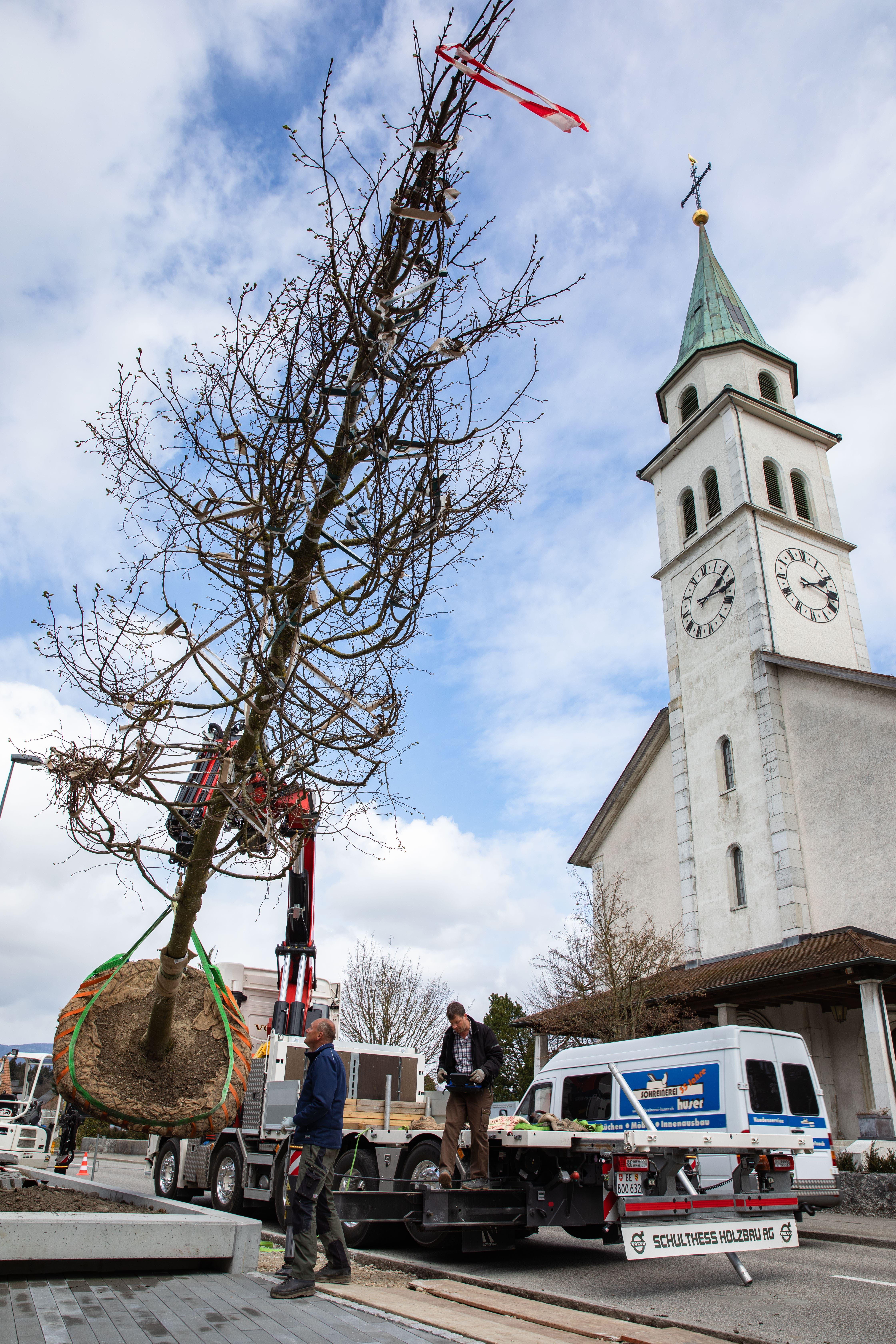Die acht Meter hohe Linde wird mit dem Lastwagen gebracht.