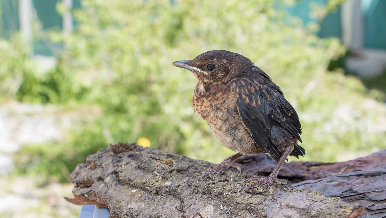 Diese junge Amsel hat bereits das Nest verlassen, ist jedoch noch nicht selbstständig. In der Natur würde sie von ihren Eltern weiterhin betreut. (Bild:Schweizerische Vogelwarte)