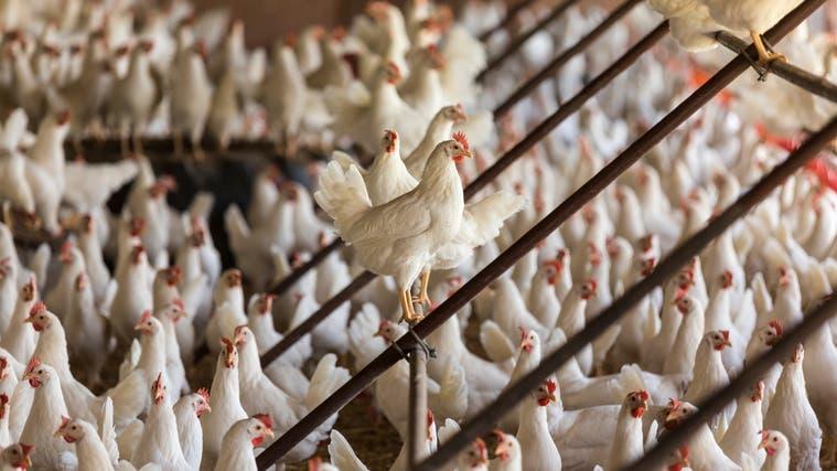 Der Bund hat Massnahmen zum Schutz der Legehennen vor dem Vogelgrippevirus beschlossen. Diese gelten vorerst bis 30. April. (Gaetan Bally / Keystone)