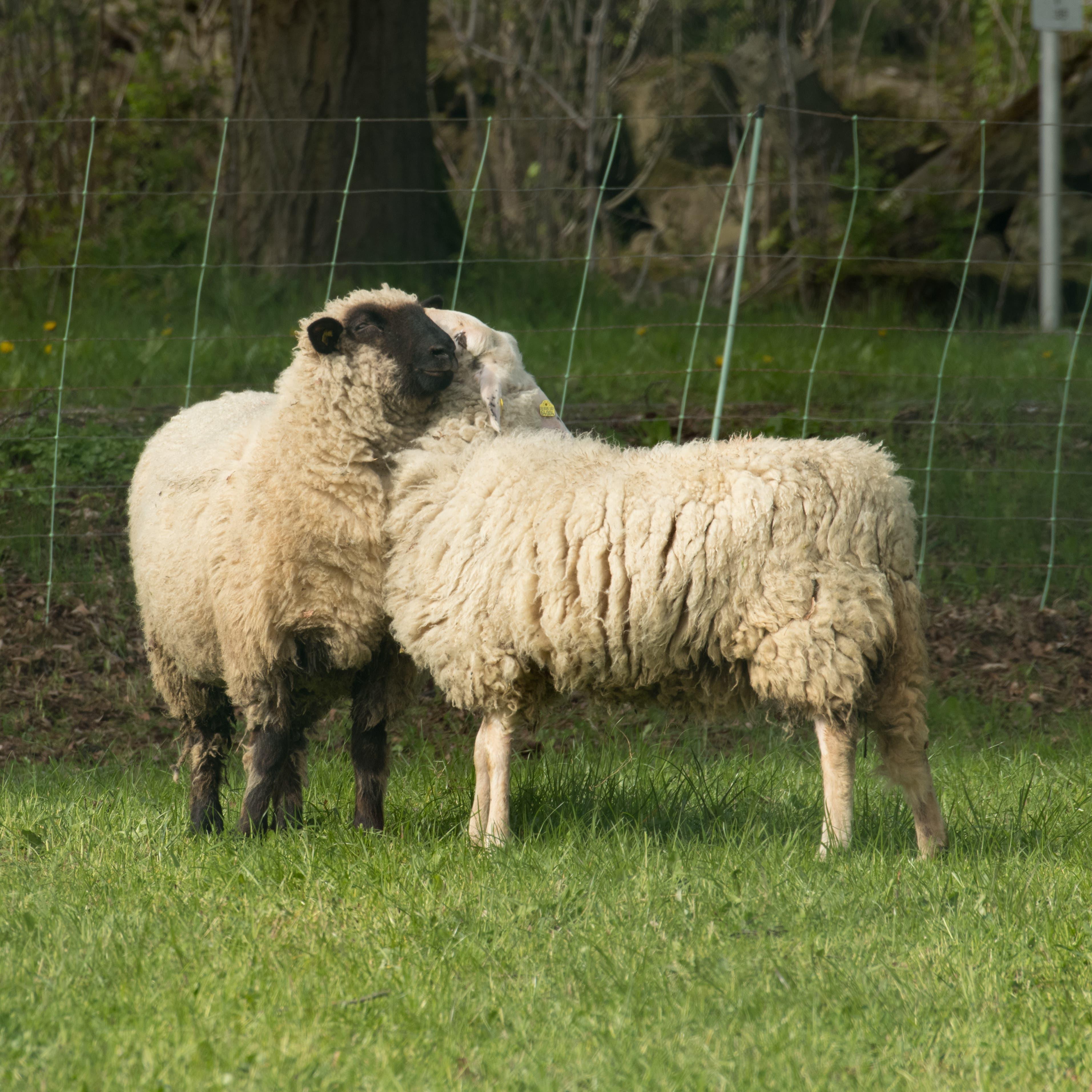Bei Schafen zeigen sowohl Weibchen als auch Männchen sexuelles Interesse am gleichen Geschlecht.