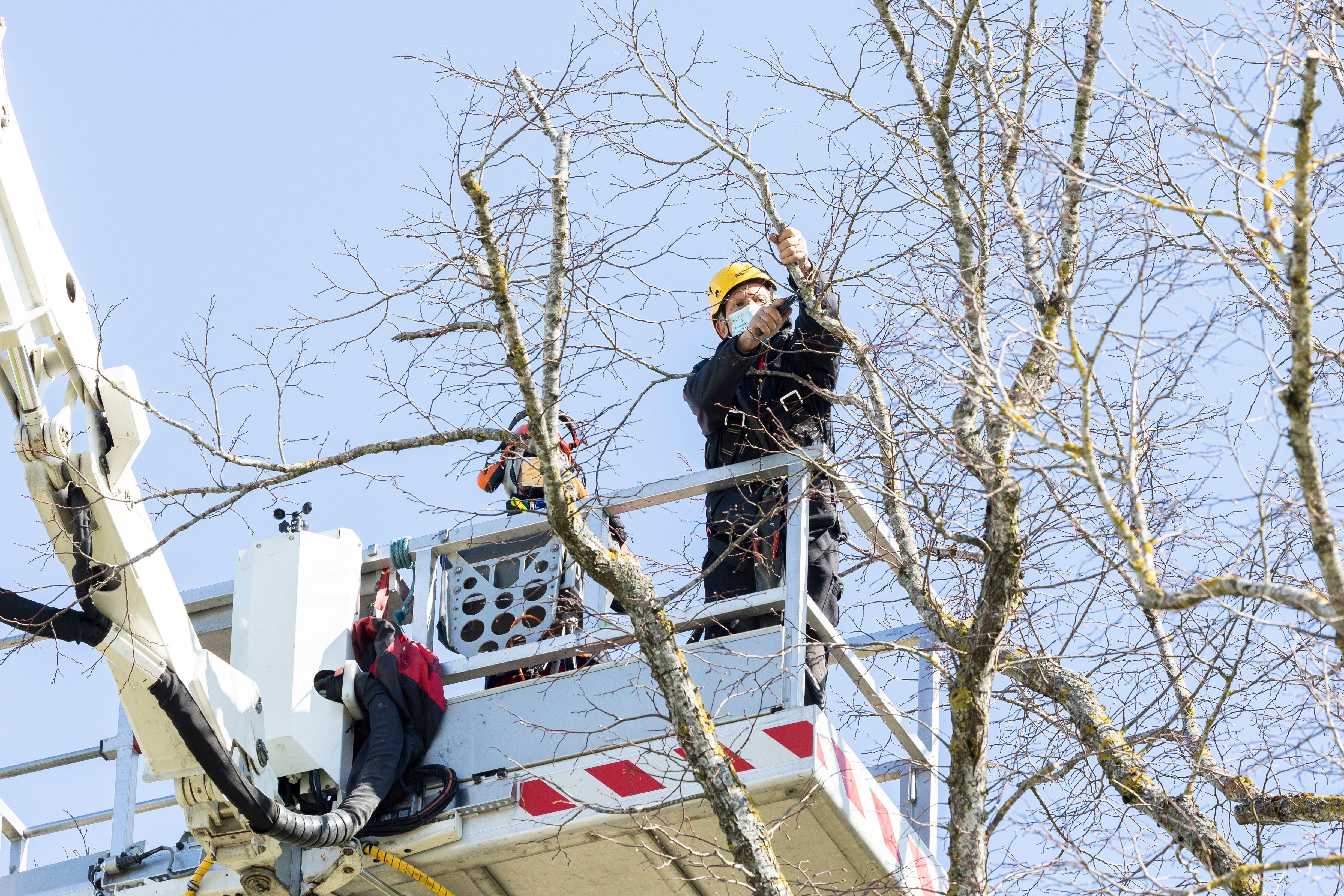Baumpfleger Dominik Hossli (gelber Helm) und Sven Saxer bei der Arbeit im Baum.