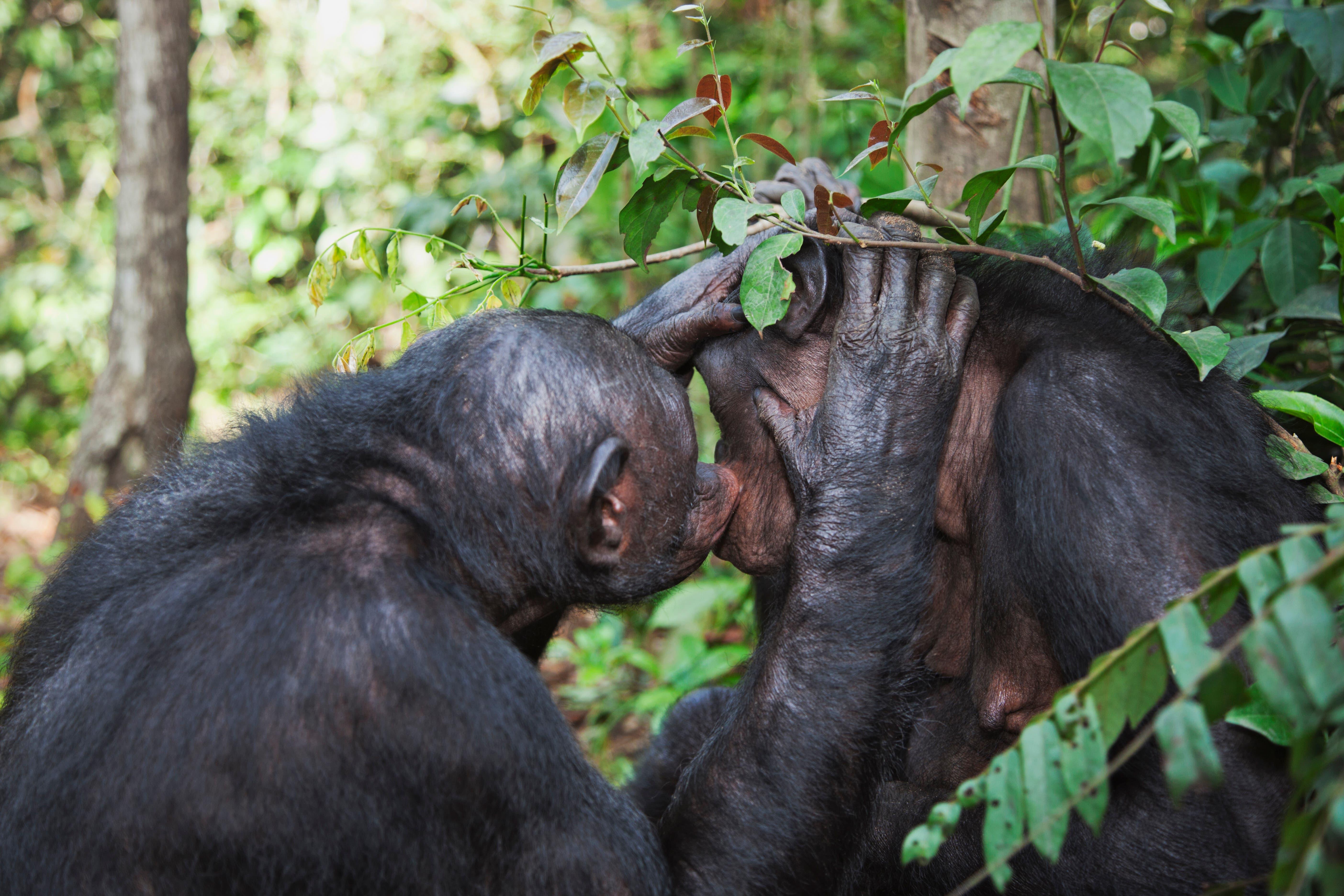 Bonobos lieben Zärtlichkeit und Sex. Besonders oft vergnügen sich Weibchen miteinander.