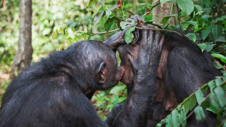 Bonobos lieben Zärtlichkeit und Sex. Besonders oft vergnügen sich Weibchen miteinander. (Getty Images)