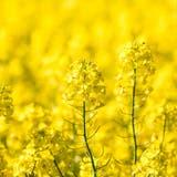 Schweizer Produkt aus einheimischen Pflanzen: Rapsöl. (Sandra Ardizzone)
