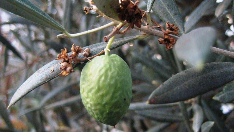 Olivenbäume waren die Lieblingspflanze vonCarmine Martoccia-Botta. (Symbolbild: PD)