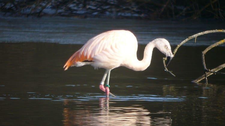 Über den Jahreswechsel 2009 / 2010 hielt sich ein Flamingo am Flachsee auf– Mitte Januar 2010 wurde das Tier dann abgeschossen. (Ernst Weiss /ZVG)