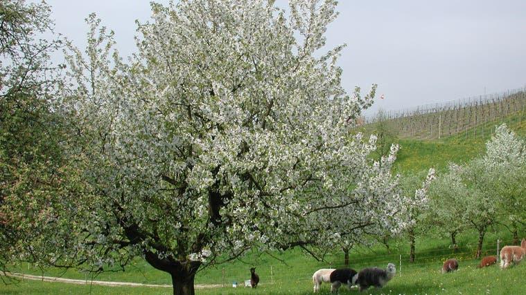 Auch im Fricktal kennzeichnen Hochstammobstbäume die Landschaft. Unter ihnen weiden auch Tiere, wie hier Alpakas. (zvg)