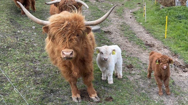 Die kleine Herde im Attisholz: Franklyn (geboren am 27. März) mit Mutter Freya, dazu Kälbchen Chelsea (geboren am 6. April) mit Mutter Carlotta und Duncan, der Vater der beiden Kälber. (Harri Kunz)