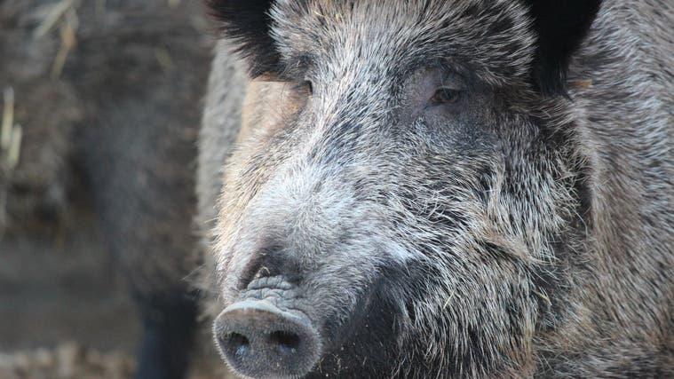 Über Wildschweine kann die Schweinepest auch auf Hausschweine übertragen werden. (Nadja Rohner (Aarau, 14. Februar 2021))
