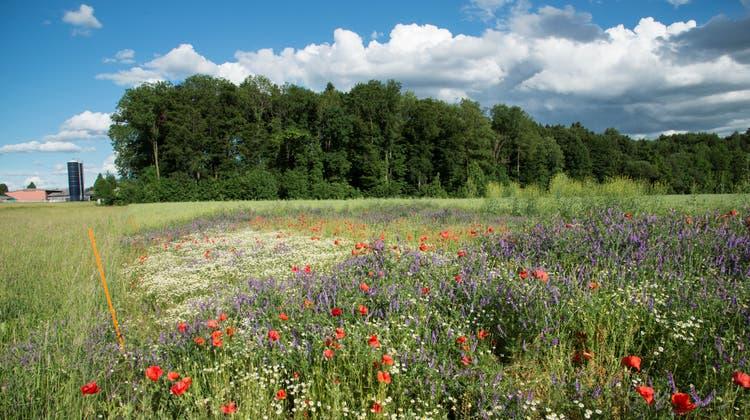 Mit Kontrollflächen wird untersucht, wie Ausgleichsflächen die negativen Auswirkungen der intensiven Landwirtschaft ausgleichen helfen. (Agroscope)