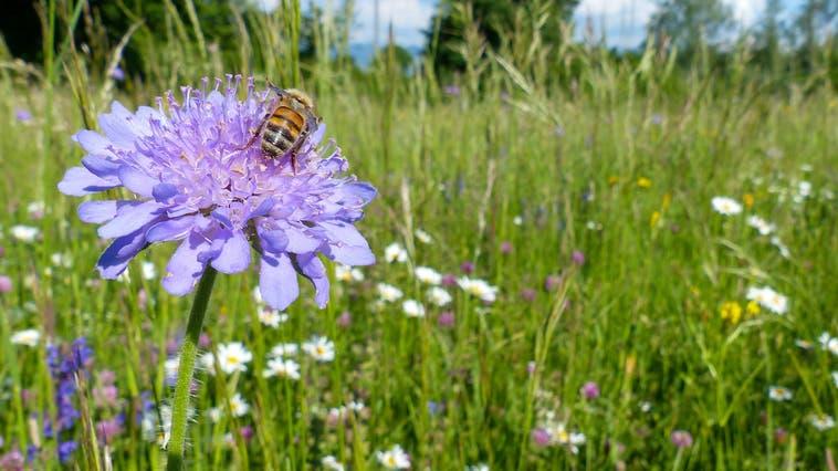 Honigbiene auf Feld-Witwenblume innerhalb einer von Pro Riet angelegten Blumenwiese. (Bild: PD)