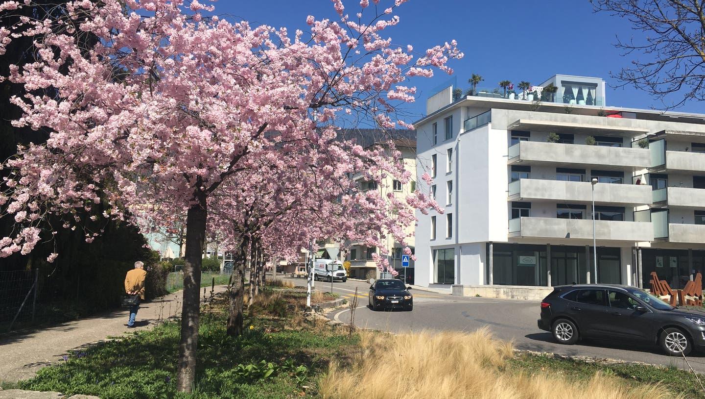 Zierkirschen am Girardplatz (at.)