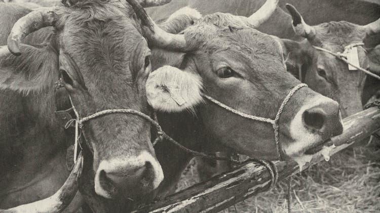 Die JubiläumsviehschauderViehzuchtgenossenschaft Oberhelfenschwil vor 20 Jahren musste aufgrund der grassierenden Maul- und Klauenseuche abgesagt werden. (Bild: PD)