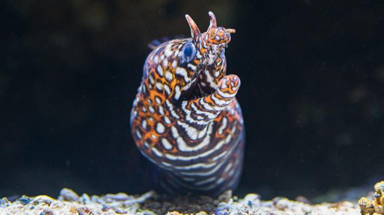 Die Färbung und der Kopf unterscheidet die Drachenmuräne von anderen Arten. (Zoo Basel)