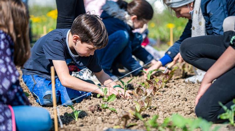 Bei bestem Wetter verpflanzen die Dritt- und Viertklässler der Primarschule Kesswil unterschiedlichste Gemüsesorten. (Bild: Reto Martin)