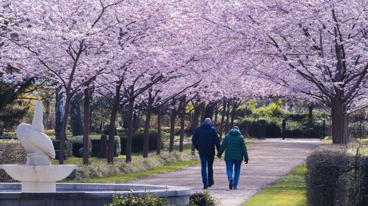 Blühende Kirschbäume säumen einen Weg auf einem Ddeutschen Friedhof und leuchten dabei farbig in der Sonne. (Frank Molter / dpa)