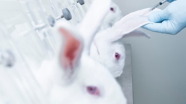 Forscher testen ein Medikament an Kaninchen. (Bild: Unol / iStockphoto)