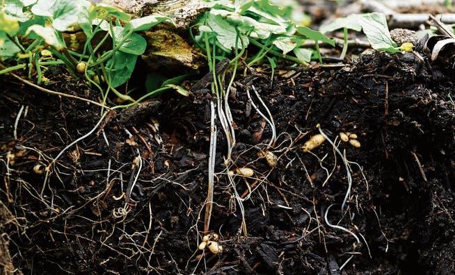 In den Böden bleiben die Pestizide gemäss den Naturwissenschaftern lange liegen.